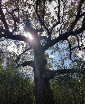 Mama Oak - Home Page
