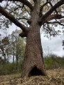 Mama Oak